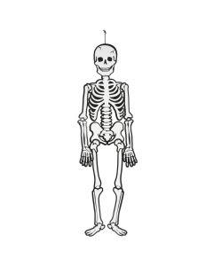 Skelet uit karton 120 cm